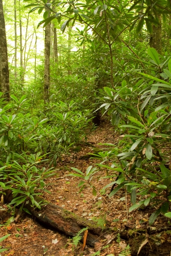The trail disappears into a tunnel of thickly growing rhododendron (or mountain laurel as it is called in West Virginia).