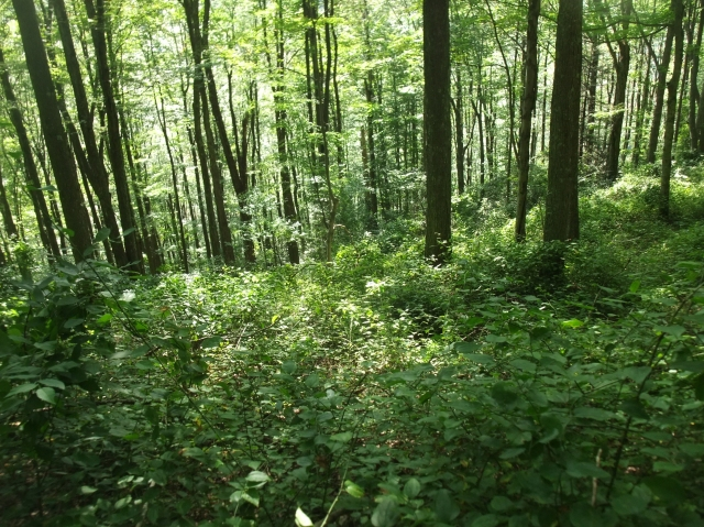 These thick green stands are not old growth forests, as West Virginia's mountains were largely clear cut for timber a century ago.