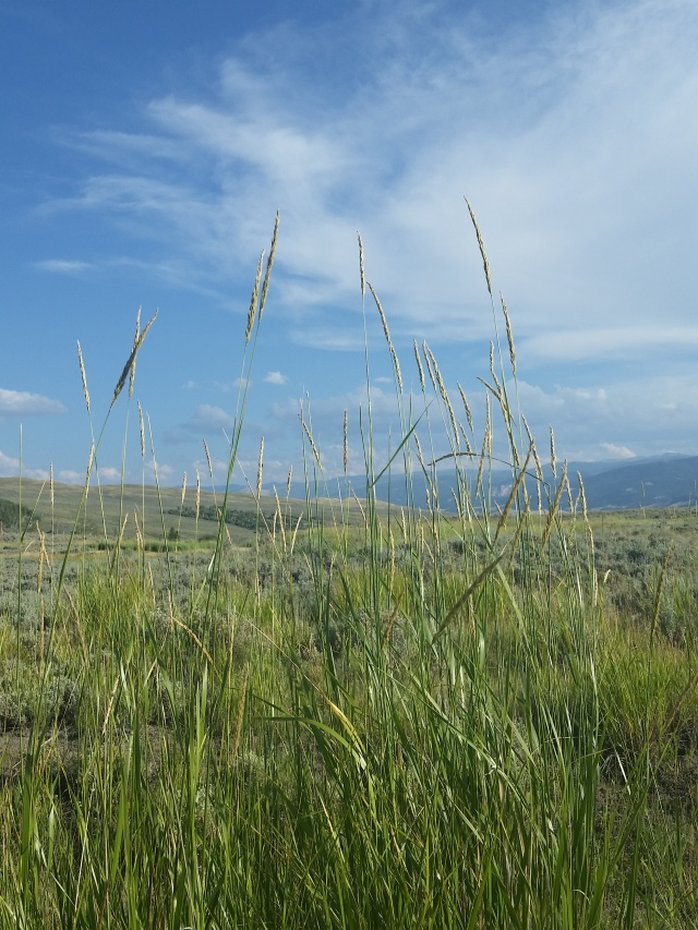 Tall grasses can be found amidst the sagebrush on the western Wyoming range, near Dubois, Wyoming