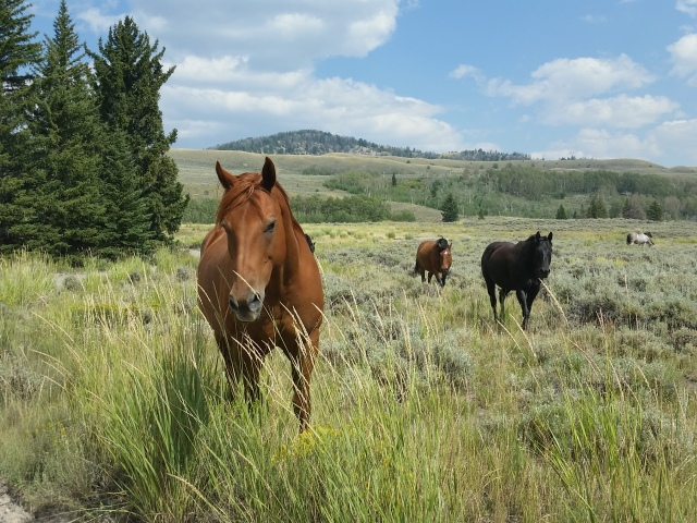 Healthy horses stretch their legs on the open range. But in the shadows of copses there are grizzlies and mountain lions also.