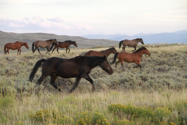 Horses from the Absaroka Ranch's stable run freely in the evening