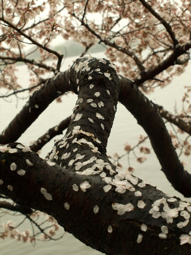 CHERRY BLOSSOMS ON A RAINY SPRING DAY