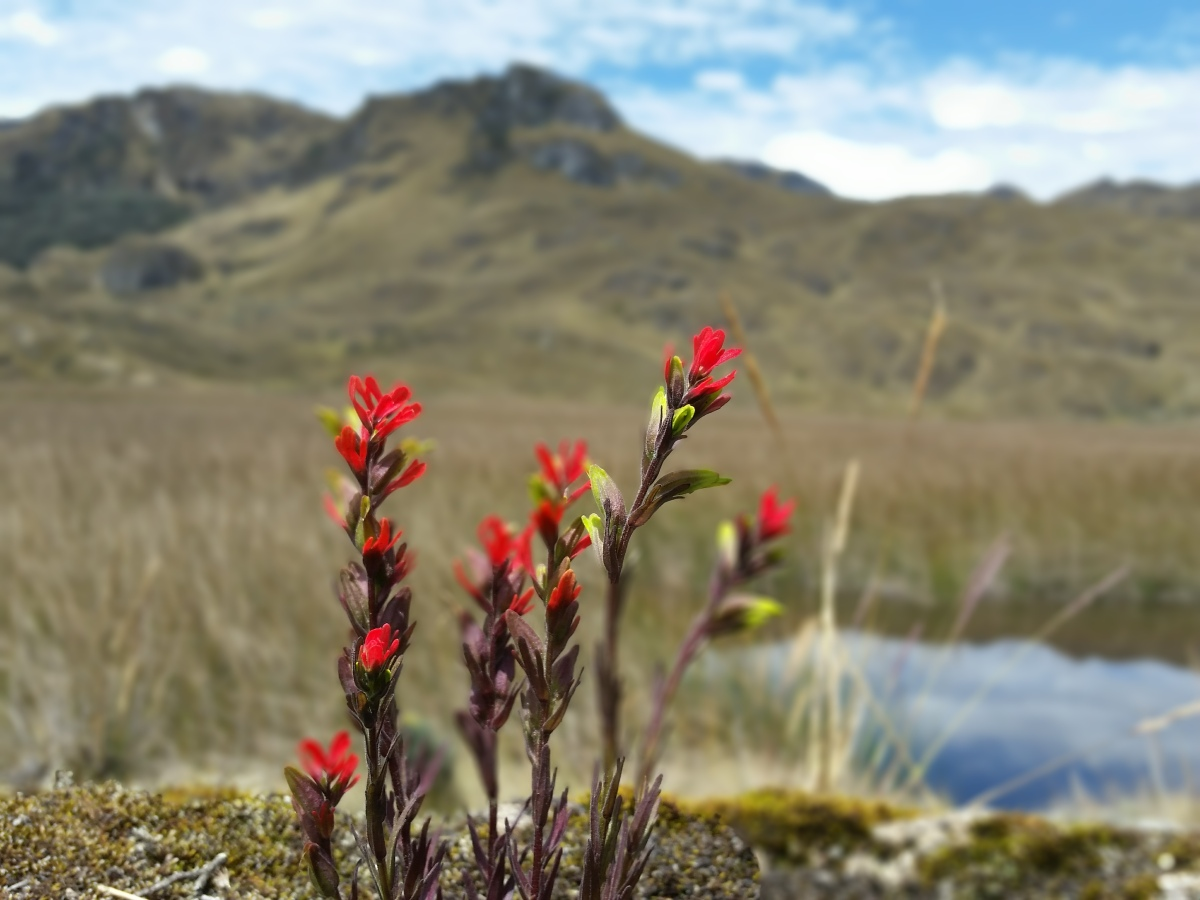 Wildflowers of the Cajas National Park, Southern Ecuador